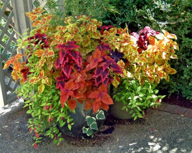 Coleus in containers @DBG 19sept05 LAH 323
