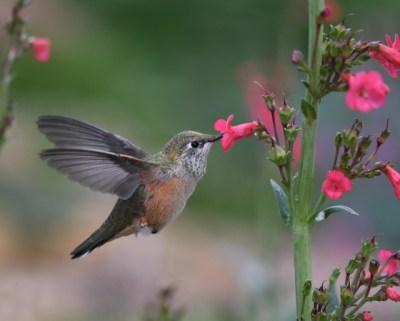 Broad-tailed Hummingbird_XG-COS-CO_LAH_9386