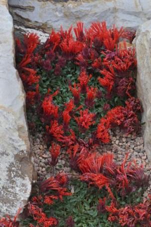 Monardella macrantha 'Marian Sampson'_Hummingbird Trumpet Mint_XG-COS-CO_LAH_9430