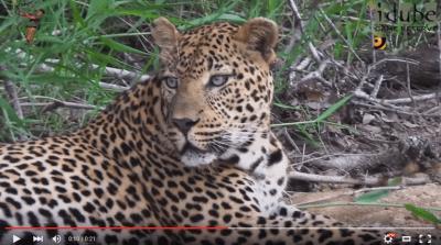 The Leopard Roars!
