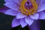 lotus 4 u