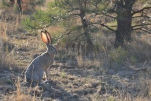 jackrabbit hunting
