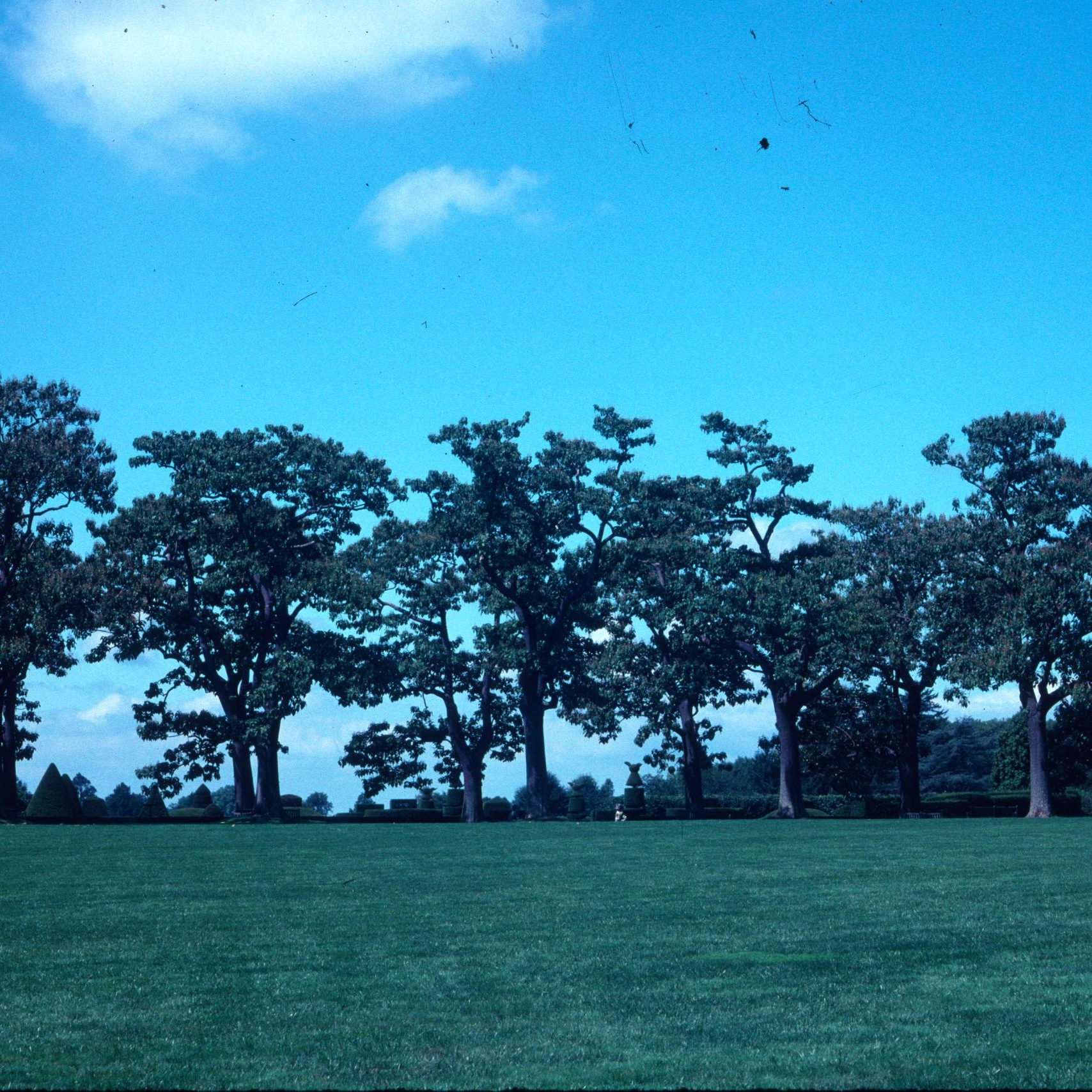 Paulownia Trees in the distance