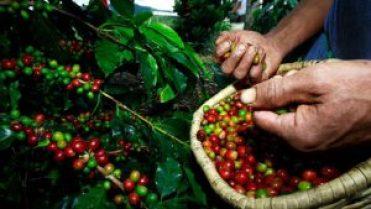 Coffee picking
