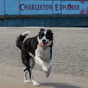 Marley the Border Collie, Tripp Hanna - East Cooper Pets