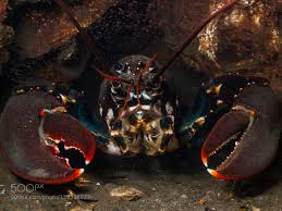North Sea Lobster