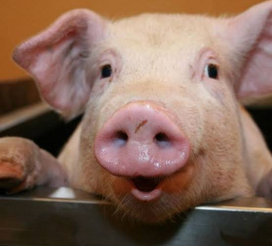 Ibadan man docked for having sex with pig