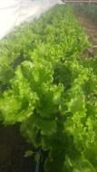 Green leaf lettuce heads
