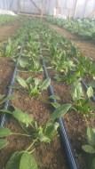 Arrow head Spinach