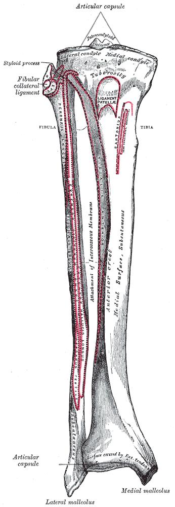 fibulaanterior