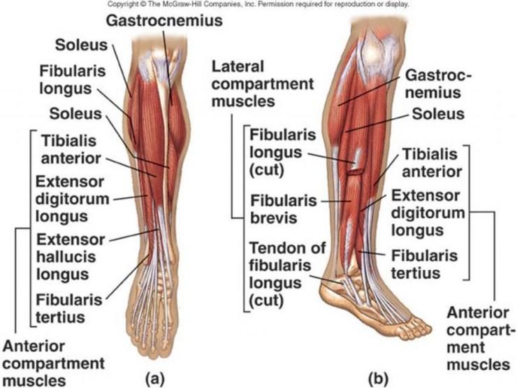anatomylowerlegmuscles.jpg