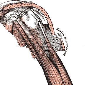 bicepsbrachii