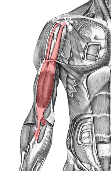 BicepsBrachii_MU