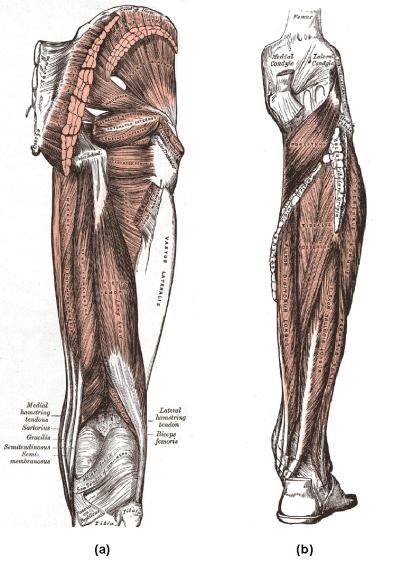 posteriorleg