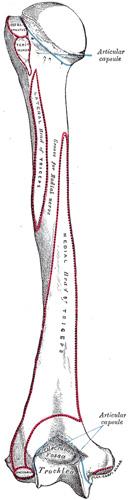 humerusposterior