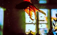 Fisch schwimmt in Aquarium beim Umzug