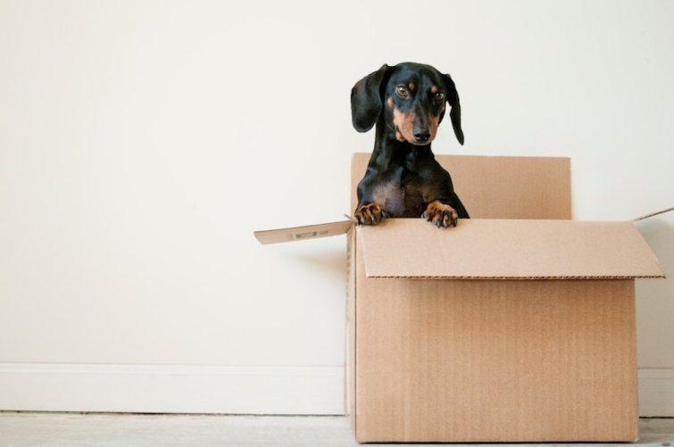 Hund in Umzugskarton während Umzug