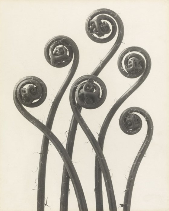 "Karl Blossfeldt, ""Adiantum pedatum. Maidenhair fern,"" 1926, courtesy of Karl Blossfeldt Archive"