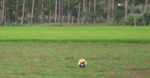 Taiwan farmer in rice paddy