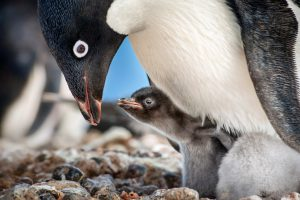 "BUDDING FAMILY -- Disneynature's all-new feature film ""Penguins"" is a coming-of-age story about an Adélie penguin named Steve who joins millions of fellow males in the icy Antarctic spring on a quest to build a suitable nest, find a life partner and start a family. From the filmmaking team behind ""Bears"" and ""Chimpanzee,"" Disneynature's ""Penguins"" opens in theaters nationwide in time for Earth Day 2019."
