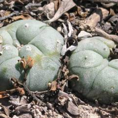 Peyote in der Wüste um Real de Catorce