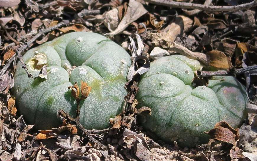 Peyote Real de Catorce