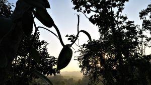 Vanille Feld Sonnenuntergang quer web - Sonnenuntergang im Vanillefeld in Papantla