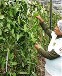 Vanille Gaja Guide web - Veracruz - Auf den Spuren der Vanille in Papantla
