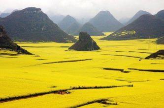 Champs de fleurs de colza, Yunnan, Chine 1