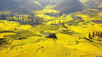 Champs de fleurs de colza, Yunnan, Chine 3