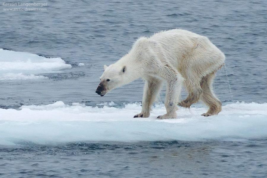 Kerstin Langenberger – La photo d'un ours polaire alerte le monde sur la fonte des glaces