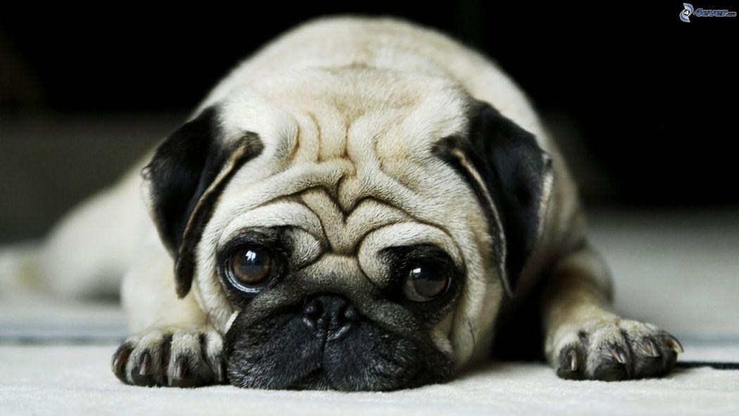 carlin,-chien-triste-166420