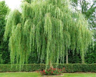 Le saule pleureur, un arbre majestueux