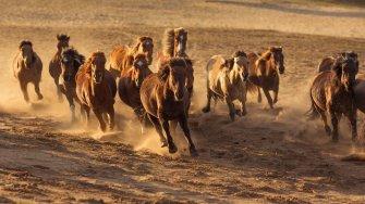 Une pétition contre l'euthanasie de 45000 chevaux sauvages