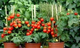 Savez-vous planter les tomates cerises ?