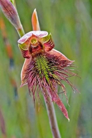 orchidée-rare-floraison-des-orchidées-fleurs-uniques