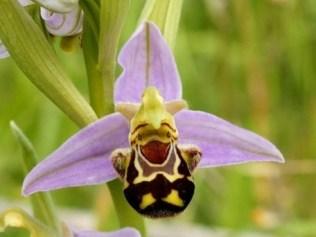 orchidée-rare-orchidée-abeille-une-fleur-sympathique