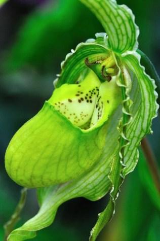 orchidée-rare-orchidée-pantoufle-vert-merveilleuse-vie-des-orchidées