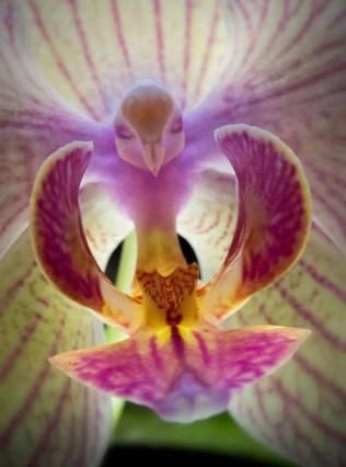 orchidée-rare-orchidée-pigeon-merveilleuses-orchidées