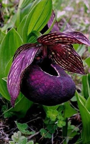 orchidée-rare-orchidée-pourpre-le-merveilleux-monde-des-orchidées