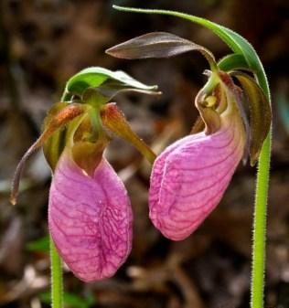 orchidée-rare-orchidée-qui-provoquent-limagination-e1479478472716