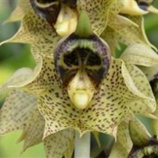 orchidée-rare-orchidée-singe-orchidées-phantastiques