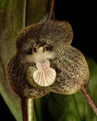 orchidée-rare-orchidée-tete-de-singe-espèces-dorchidées-bizarres