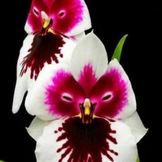 orchidée-rare-orchidée-visage-pourpre-les-miracles-de-la-nature