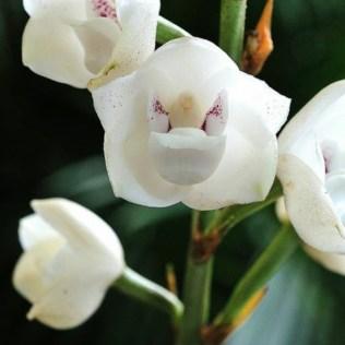 orchidée-rare-orchidées-sauvages-espèces-intéressantes