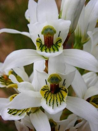 orchidée-rare-orchidées-uniques-dans-le-monde-sauvage