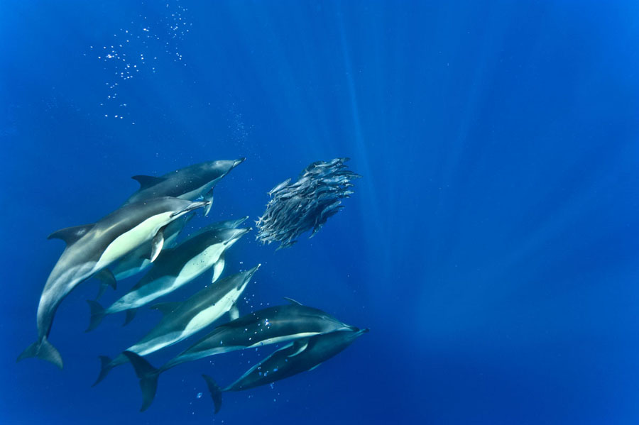 Blue jack mackerel and common dolphins (trachurus picturatus and delphinus delphis) After three hours of feeding a huge ball of mackerel is reduced to a handfull but there is no escape. Mid ocean Azores.