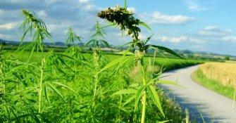 Le chanvre, l'avenir des agriculteurs bio ?