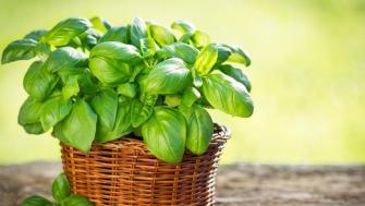Comment bien couper vos feuilles de basilic ?
