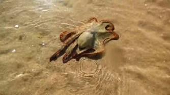 L'histoire d'une pieuvre reconnaissante